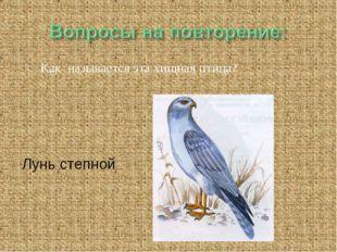 Как называется эта хищная птица? Лунь степной
