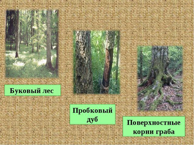 Буковый лес Пробковый дуб Поверхностные корни граба