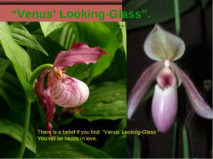 """""""Venus' Looking-Glass"""". There is a belief if you find """"Venus' Looking-Glass """""""