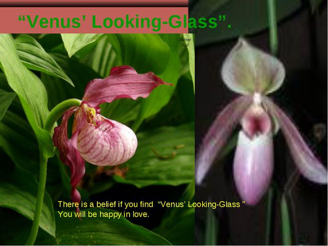 """""""Venus' Looking-Glass"""". There is a belief if you find """"Venus' Looking-Glass """"..."""