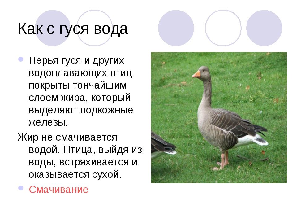 Как с гуся вода Перья гуся и других водоплавающих птиц покрыты тончайшим слое...