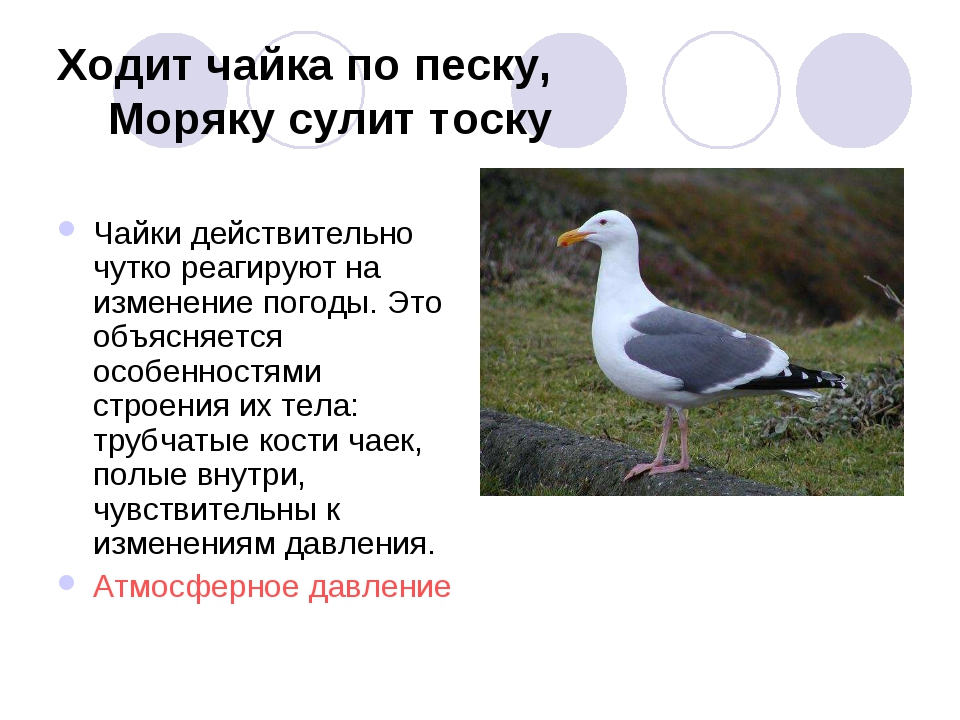 Ходит чайка по песку, Моряку сулит тоску Чайки действительно чутко реагируют...