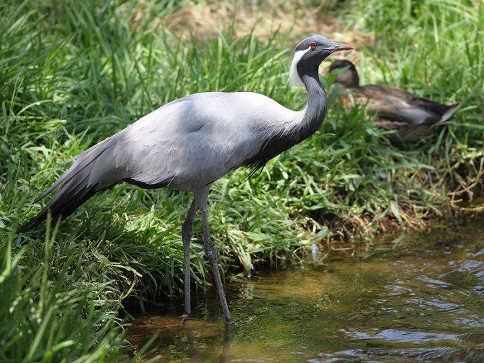 Фауна. . Птицы, живущие у водоемов. . Журавль-красавка, по-алтайски - турна. . 16 фото.