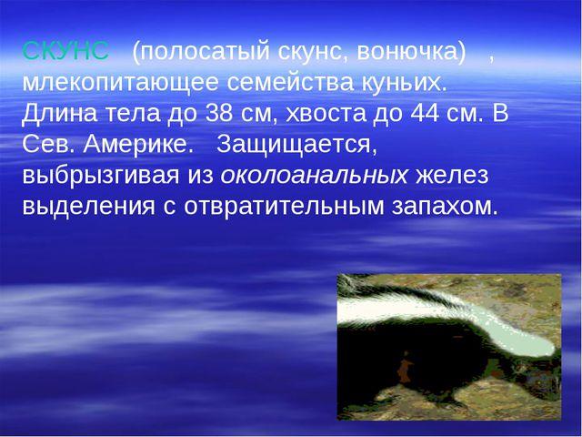 СКУНС (полосатый скунс, вонючка) , млекопитающее семейства куньих. Длина тел...