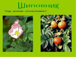 Плоды шиповника – источник витамина С