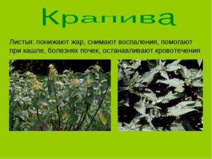Листья: понижают жар, снимают воспаления, помогают при кашле, болезнях почек,