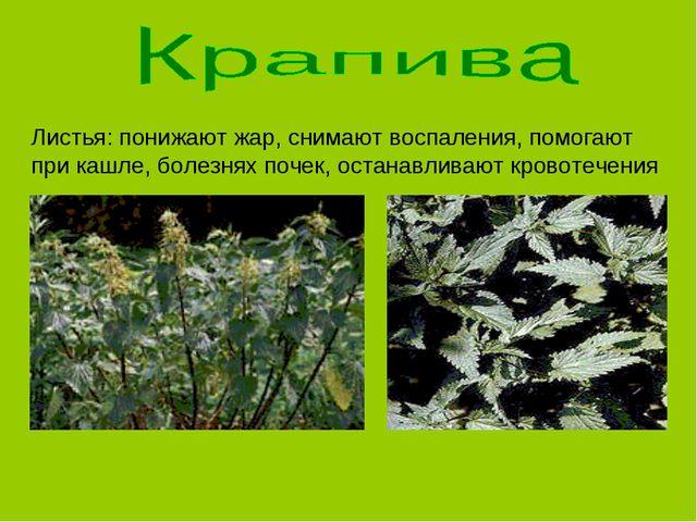 Листья: понижают жар, снимают воспаления, помогают при кашле, болезнях почек,...