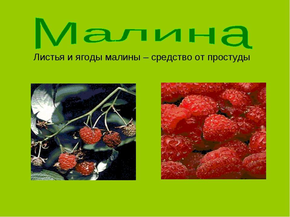 Листья и ягоды малины – средство от простуды