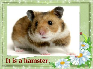 What animal is it? It is a hamster.