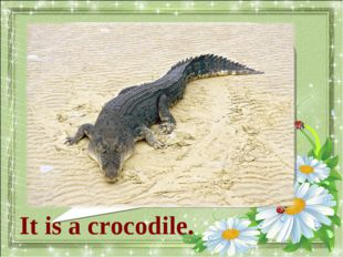 What animal is it? It is а crocodile.