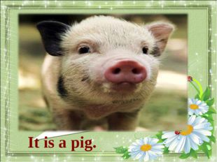 What animal is it? It is a pig.
