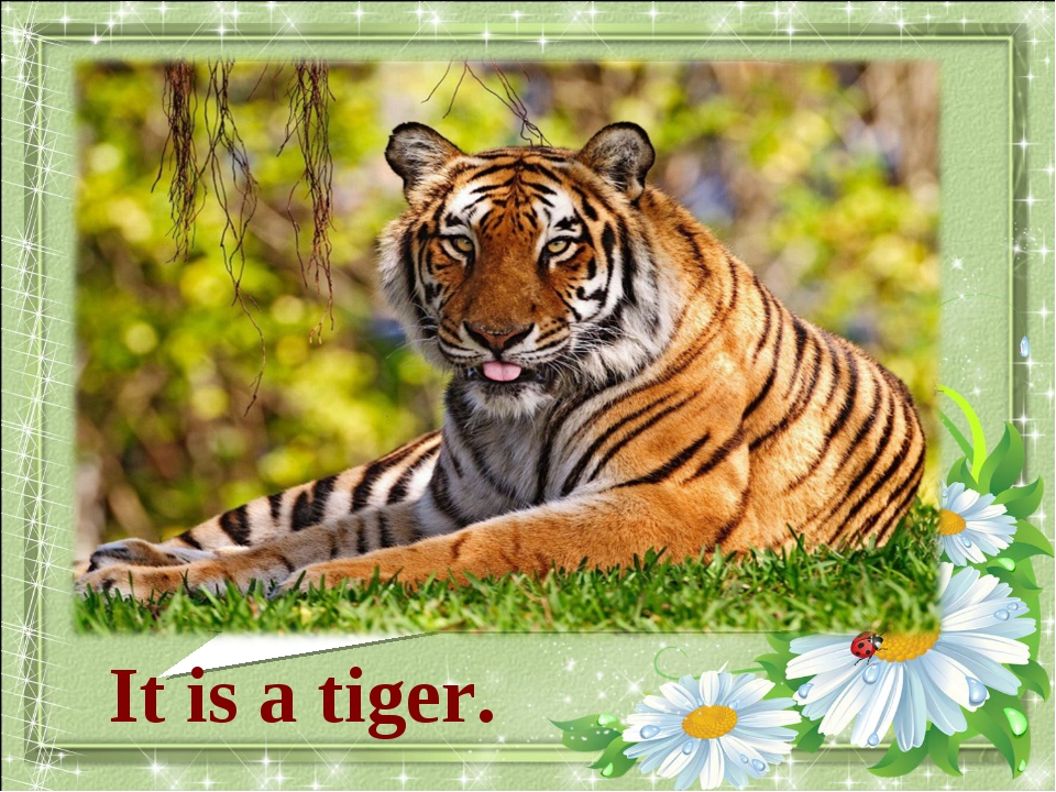 What animal is it? It is a tiger.