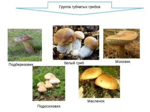 Моховик Масленок Подберезовик Подосиновик белый гриб Группа губчатых грибов