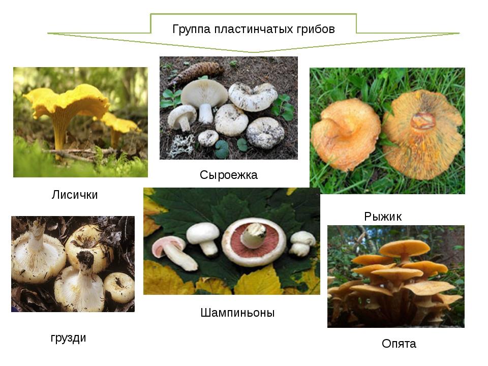 Группа пластинчатых грибов Рыжик Сыроежка Шампиньоны Опята Лисички грузди