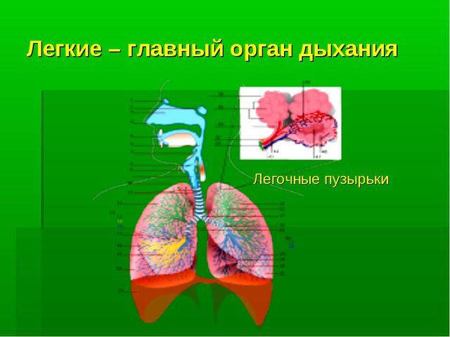 Легкие – главный орган дыхания Легочные пузырьки