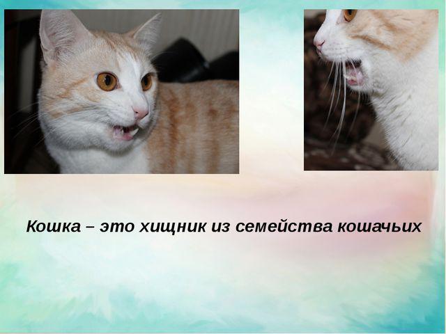 Кошка – это хищник из семейства кошачьих
