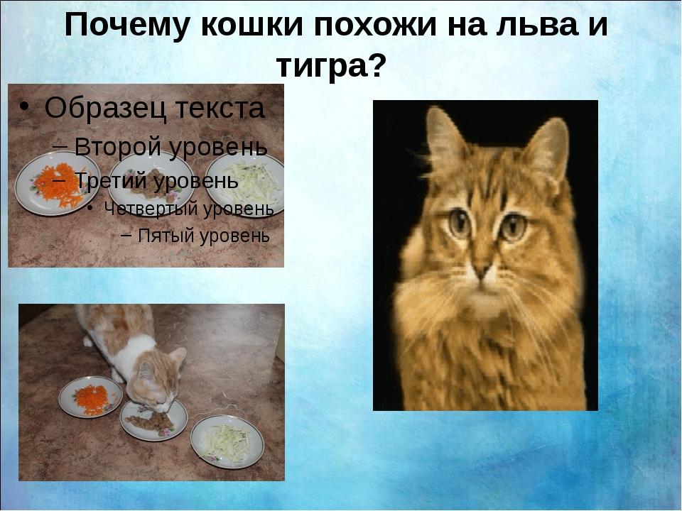 Почему кошки похожи на льва и тигра?