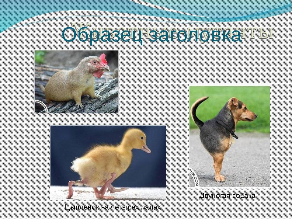 Двуногая собака Цыпленок на четырех лапах