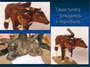 Такие телята рождались в Чернобыле.