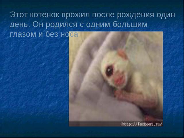 Этот котенок прожил после рождения один день. Он родился с одним большим глаз...
