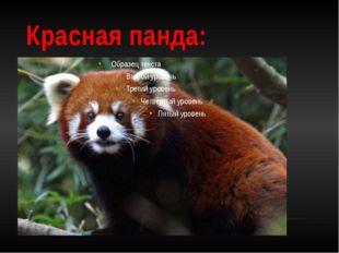 Красная панда: