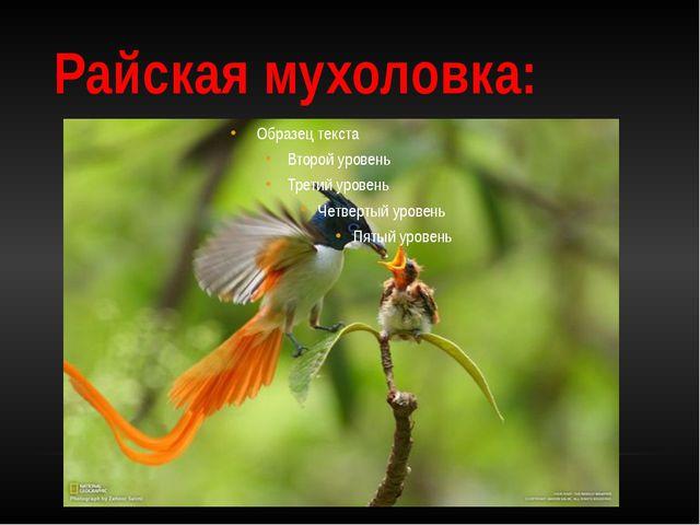 Райская мухоловка: