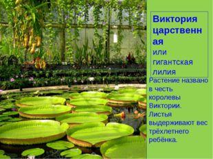 Виктория царственная или гигантская лилия Растение названо в честь королевы В