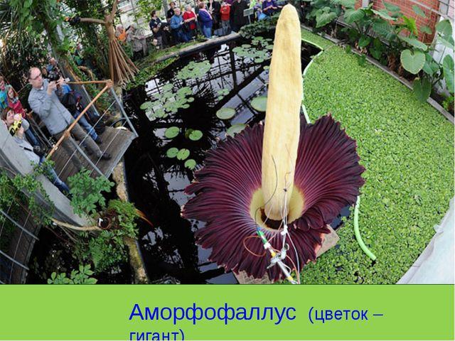 Аморфофаллус (цветок – гигант)