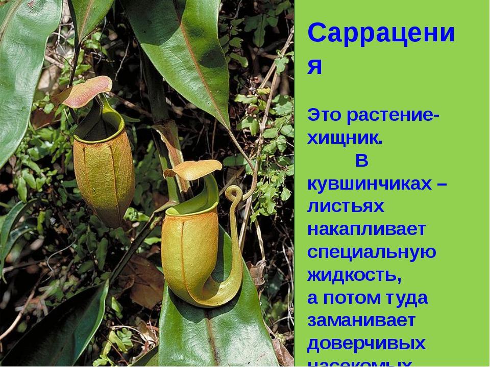 Саррацения Это растение-хищник. В кувшинчиках – листьях накапливает специальн...