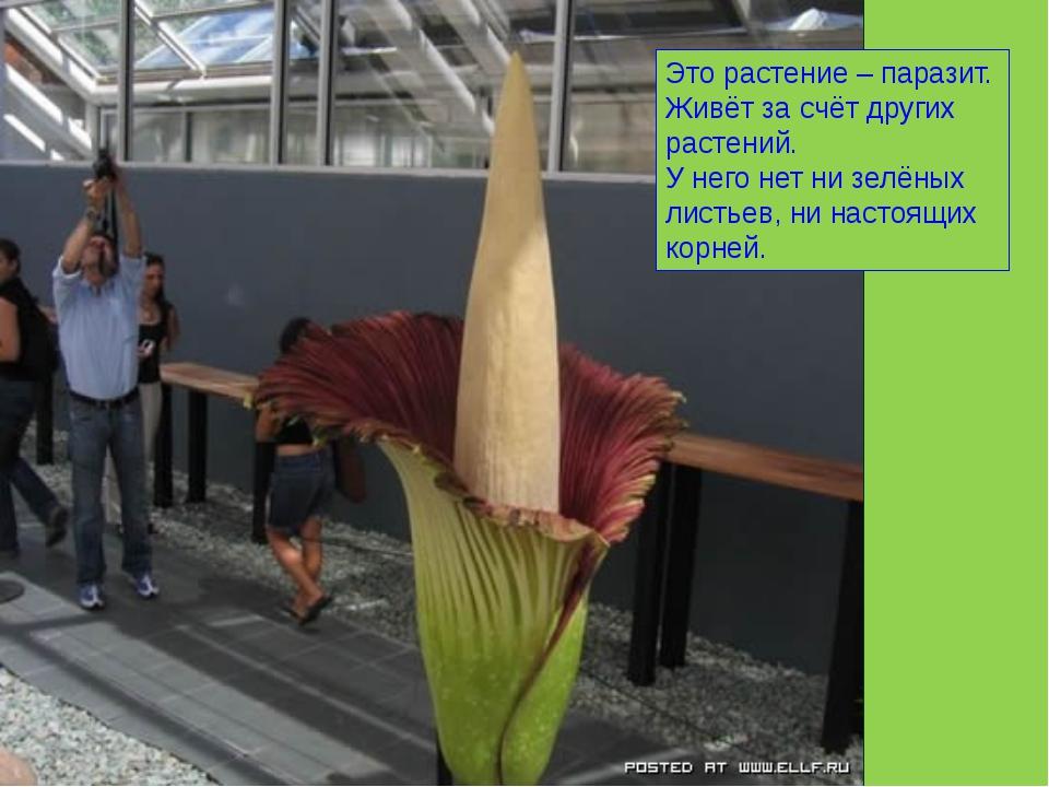 Это растение – паразит. Живёт за счёт других растений. У него нет ни зелёных...