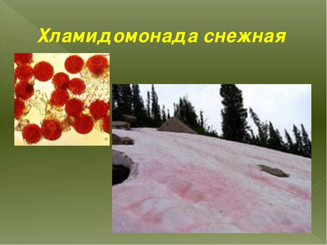Хламидомонада снежная
