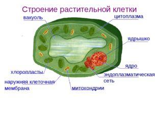 цитоплазма ядрышко ядро эндоплазматическая сеть митохондрии наружняя клеточна
