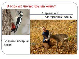 В горных лесах Крыма живут Большой пестрый дятел Крымский благородный олень