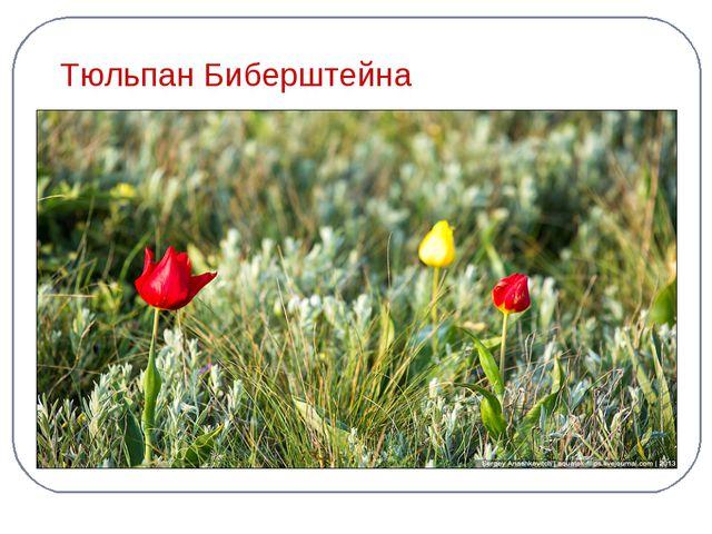 Тюльпан Биберштейна