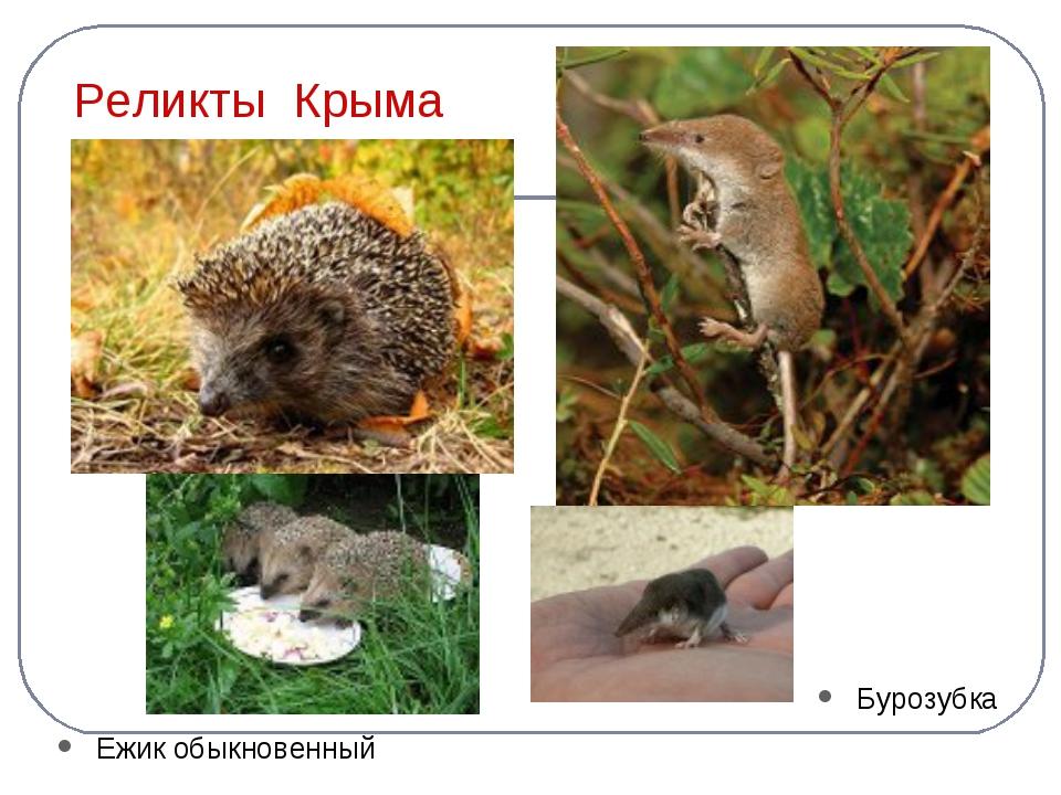 Реликты Крыма Ежик обыкновенный Бурозубка