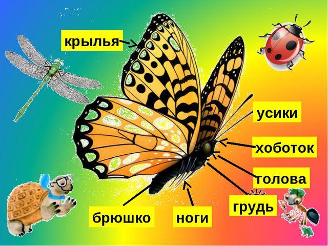 усики голова хоботок грудь ноги крылья брюшко