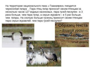 На территории национального пака « Паанаярви» гнездится чернозобая гагара . П