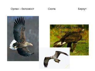 Орлан – белохвост Скопа Беркут