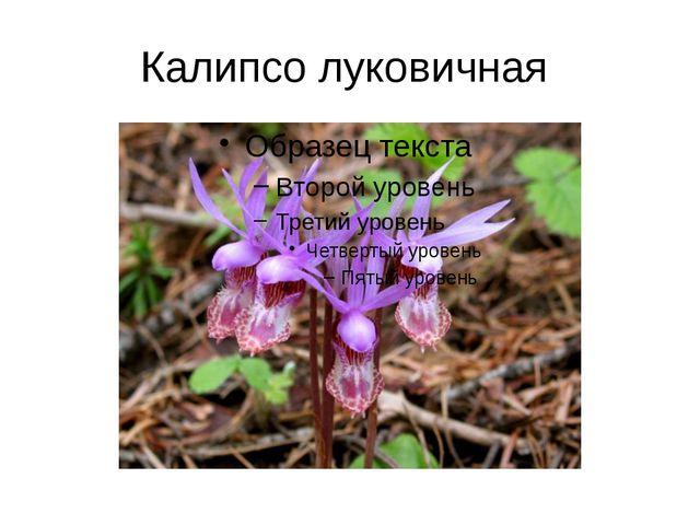 Калипсо луковичная