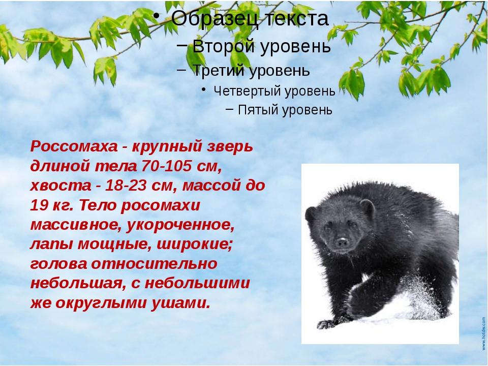 росомаха Россомаха - крупный зверь длиной тела 70-105 см, хвоста - 18-23 см,...