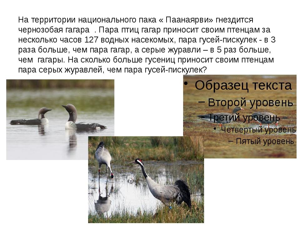 На территории национального пака « Паанаярви» гнездится чернозобая гагара . П...