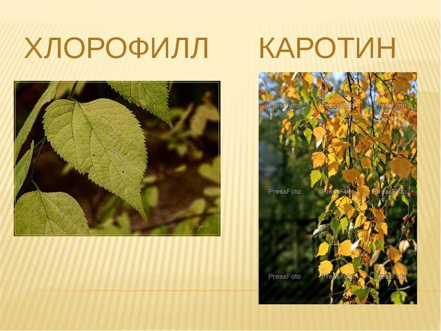 ХЛОРОФИЛЛ КАРОТИН