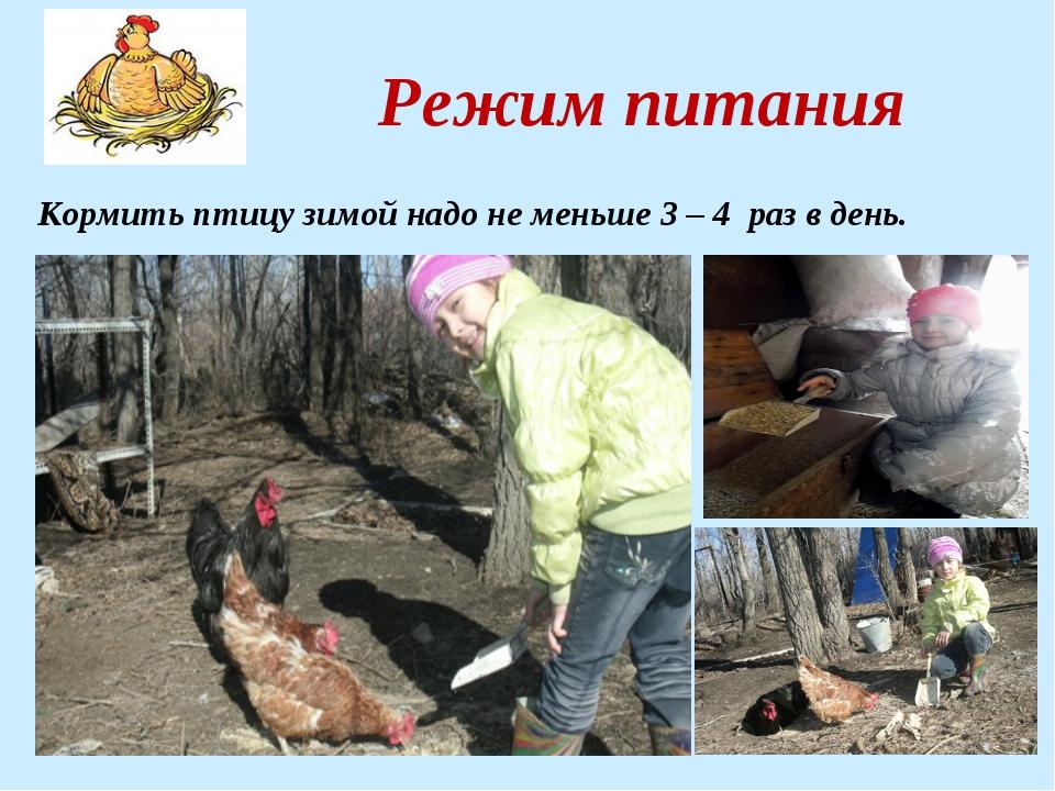 Режим питания Кормить птицу зимой надо не меньше 3 – 4 раз в день.