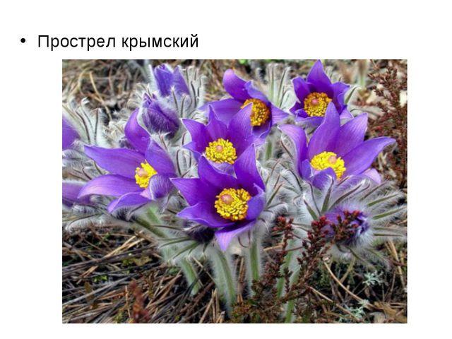 Прострел крымский