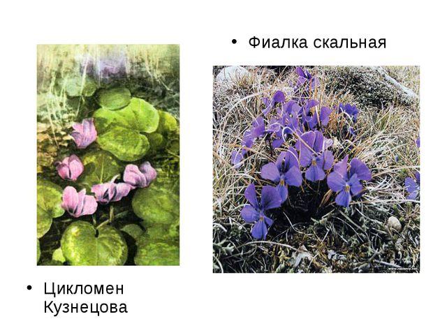 Цикломен Кузнецова Фиалка скальная