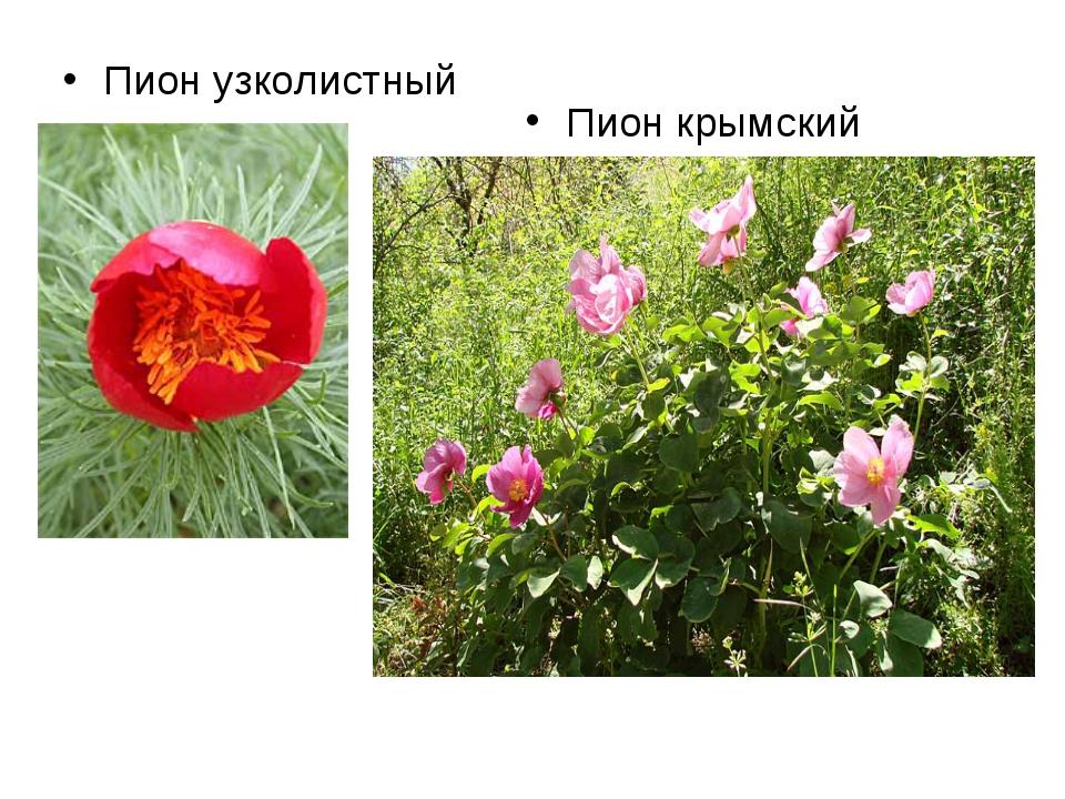 Пион узколистный Пион крымский