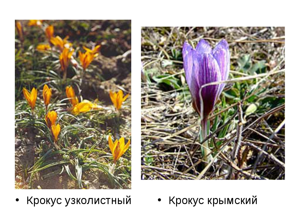 Крокус узколистный Крокус крымский