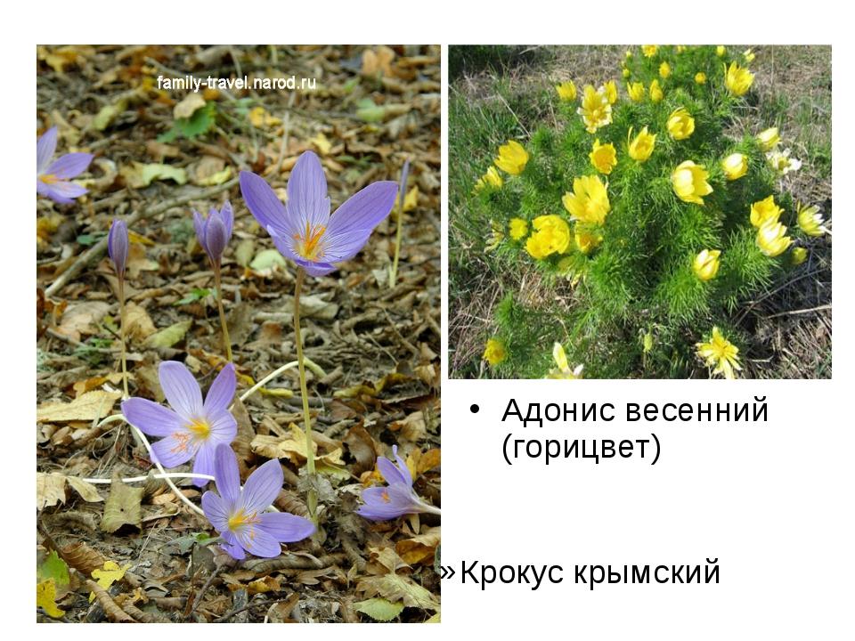 Крокус крымский Адонис весенний (горицвет)