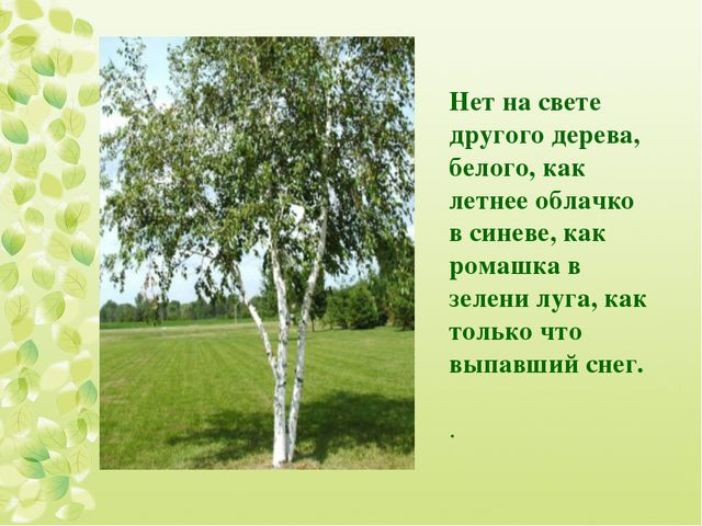 Нет на свете другого дерева, белого, как летнее облачко в синеве, как ромашка...