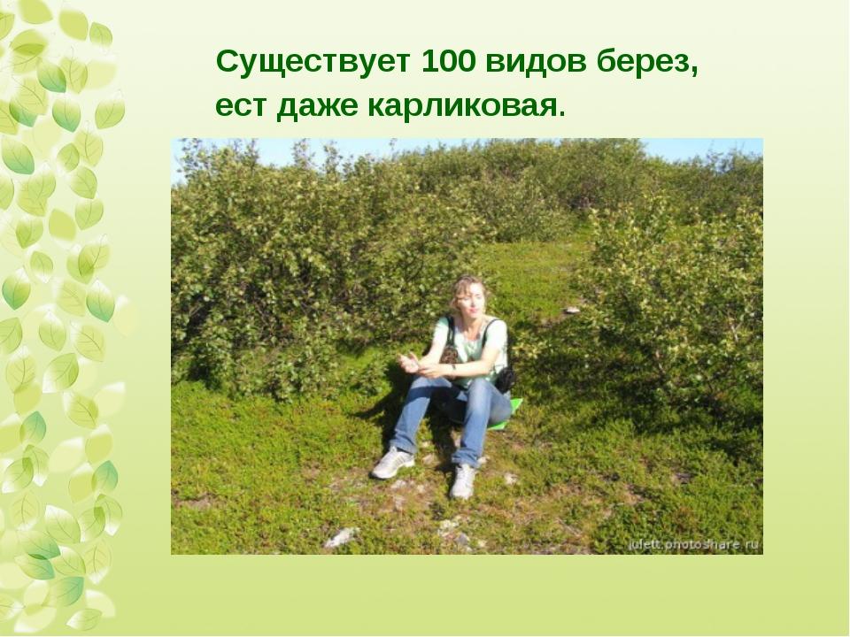 Существует 100 видов берез, ест даже карликовая.